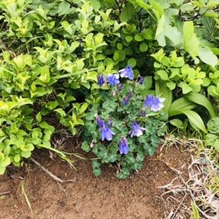 山頂付近にひっそりと咲くミヤマリンドウ