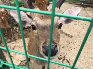 鹿園を覗くと近くに寄って餌をおねだり。